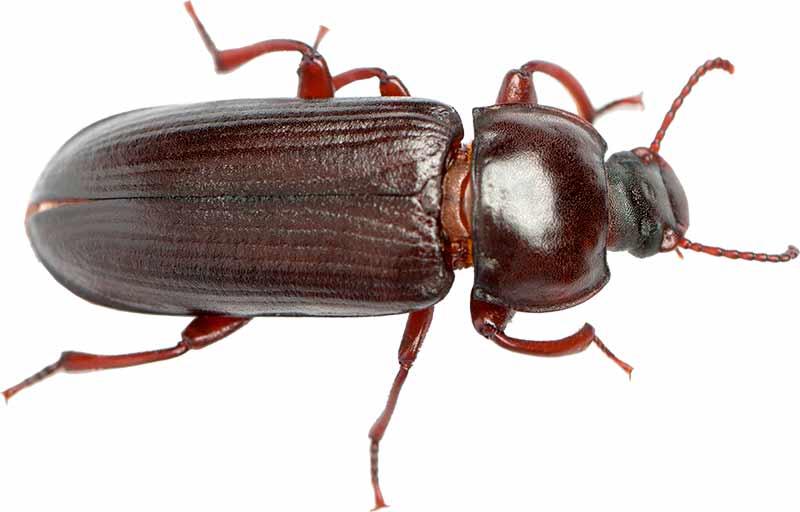 Melorme-bille, nærbillede