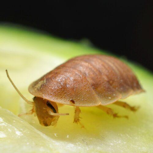 Dubia-kakerlakker