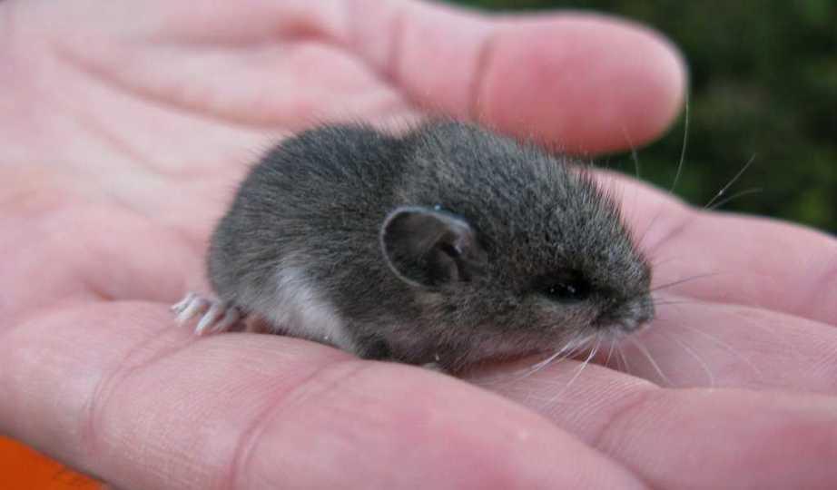 spiser rotter mus