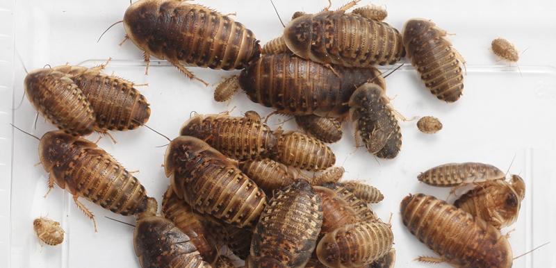 Dubia-kakerlakker er billigst i længden