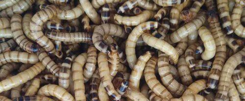 Larver, orme og biller