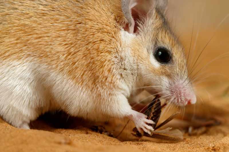 Dubia-kakerlakker er fine foderdyr til pigmus