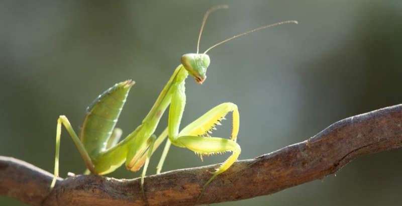 Alle slags insekter kan være foderdyr for en knæler