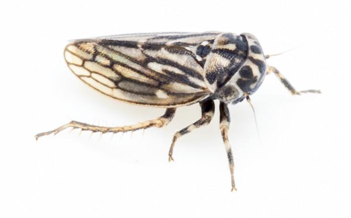 Toplettet cikade - Anaceratagallia venosa eller Anaceratagallia ribauti