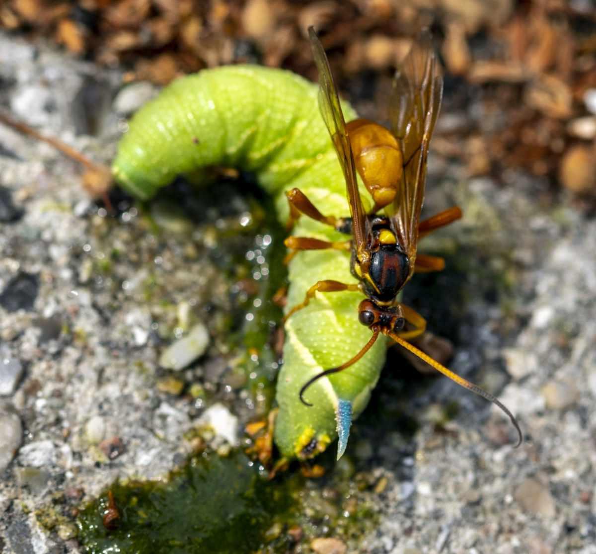 Callajoppa cirrogaster