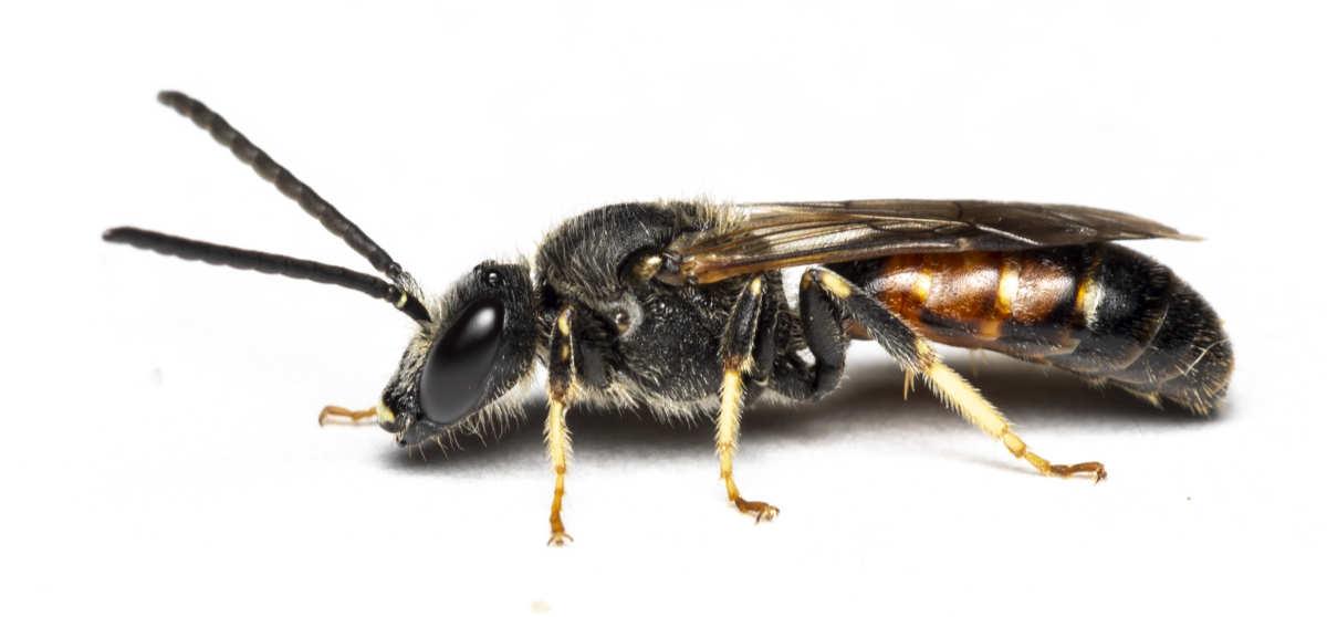 Græslandsmalbi - Lasioglossum albipes