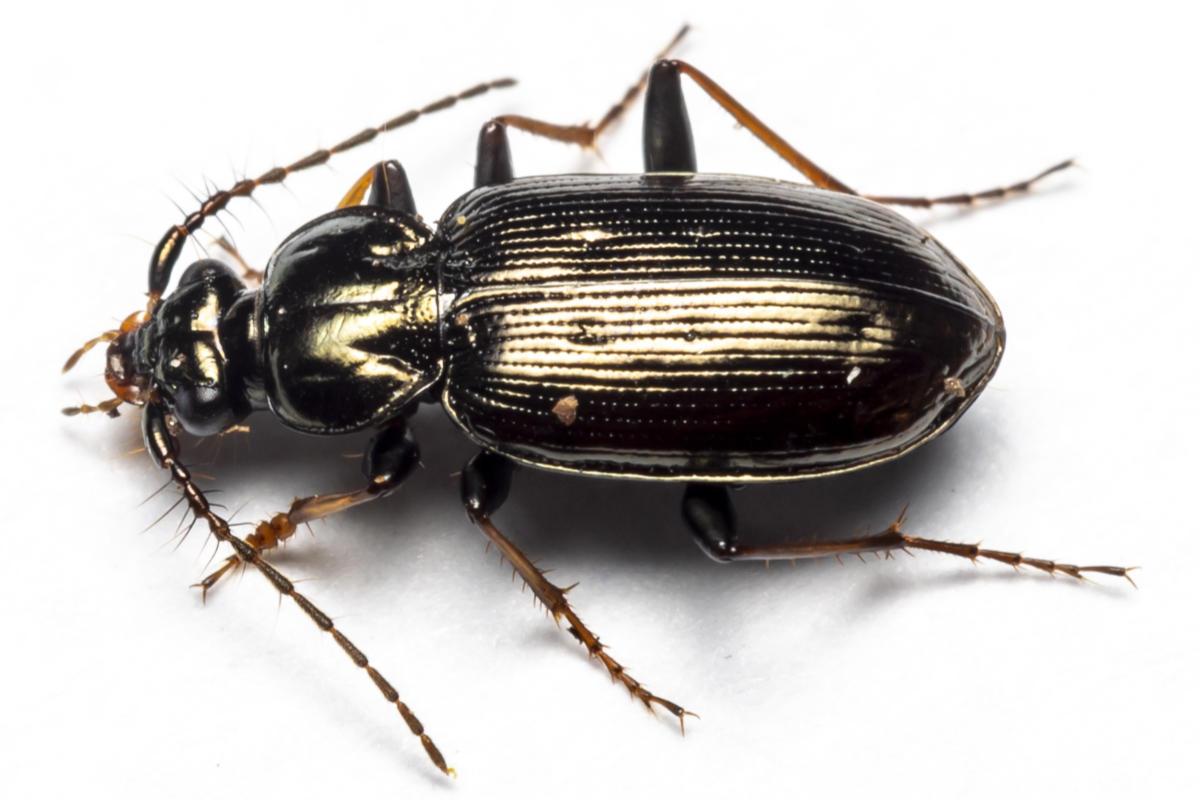 Børsteløber - Loricera pilicornis