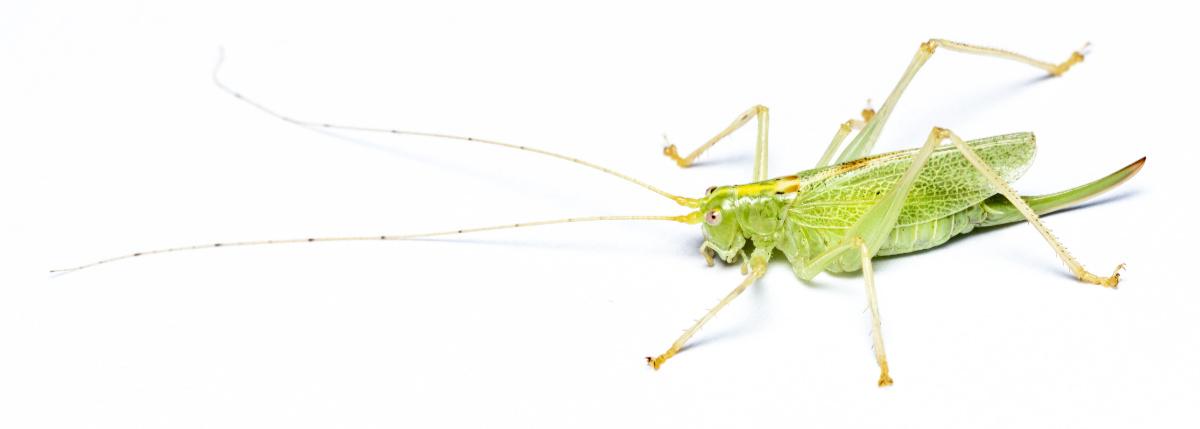 Egegræshoppe - Meconema thalassinum