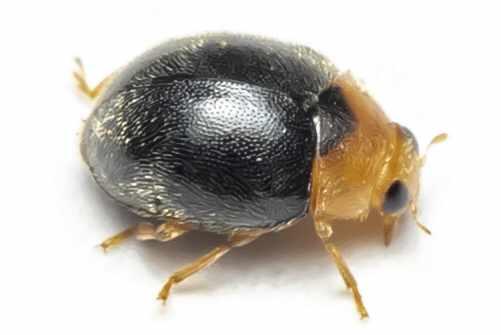 Dværgmariehoene - Scymnus rubromaculatus