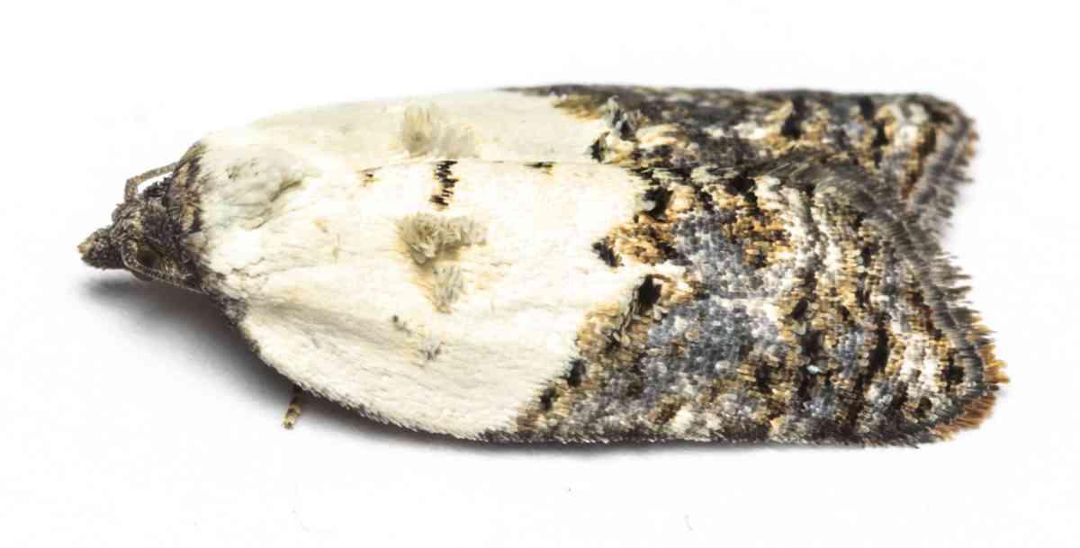 Hvidbroget rosenvikler - Acleris variegana