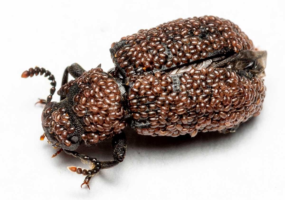 Netskyggebille - Bolitophagus reticulatus