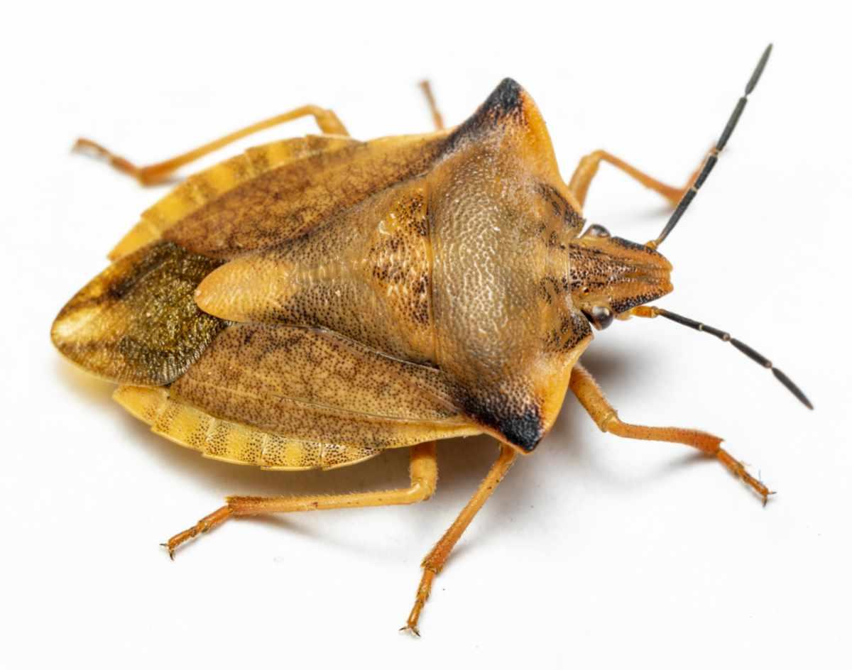 Glat bredtæge - Carpocoris fuscispinus