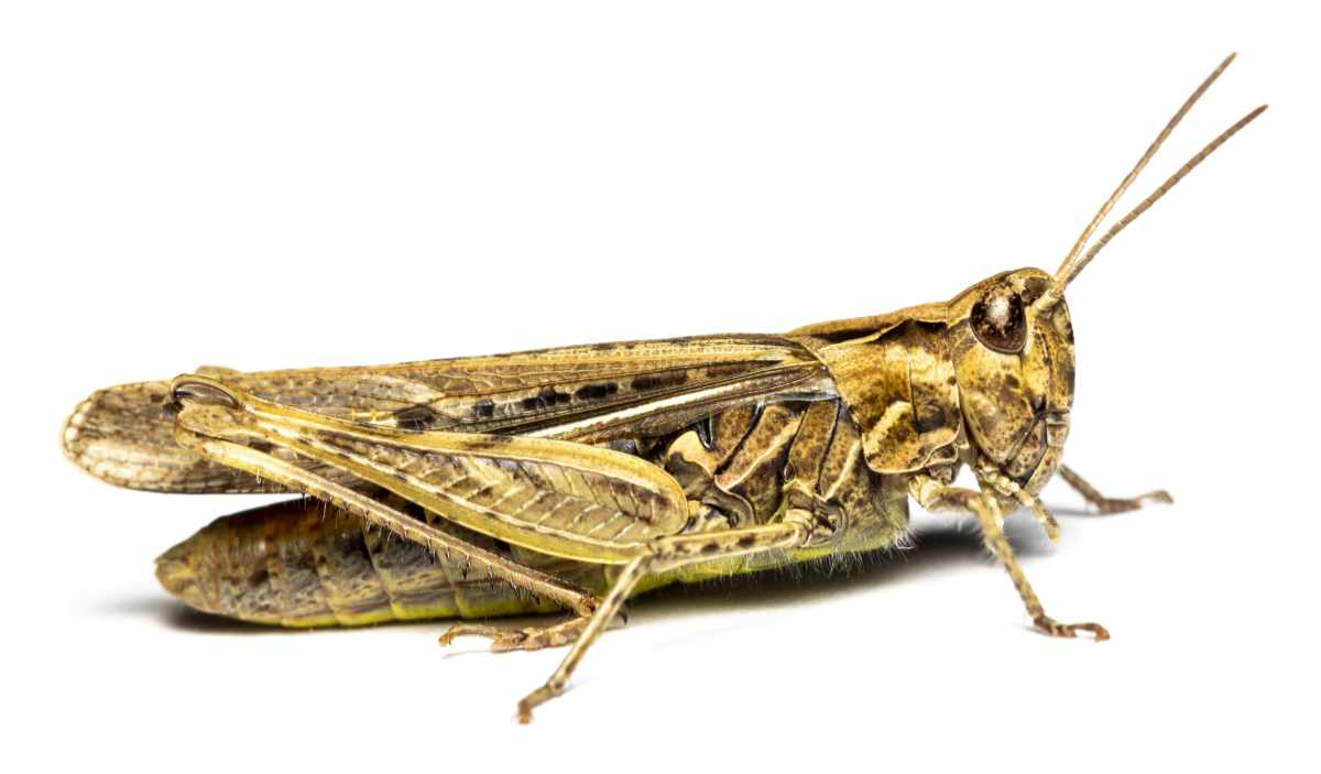 Markgræshoppe - Chorthippus sp.