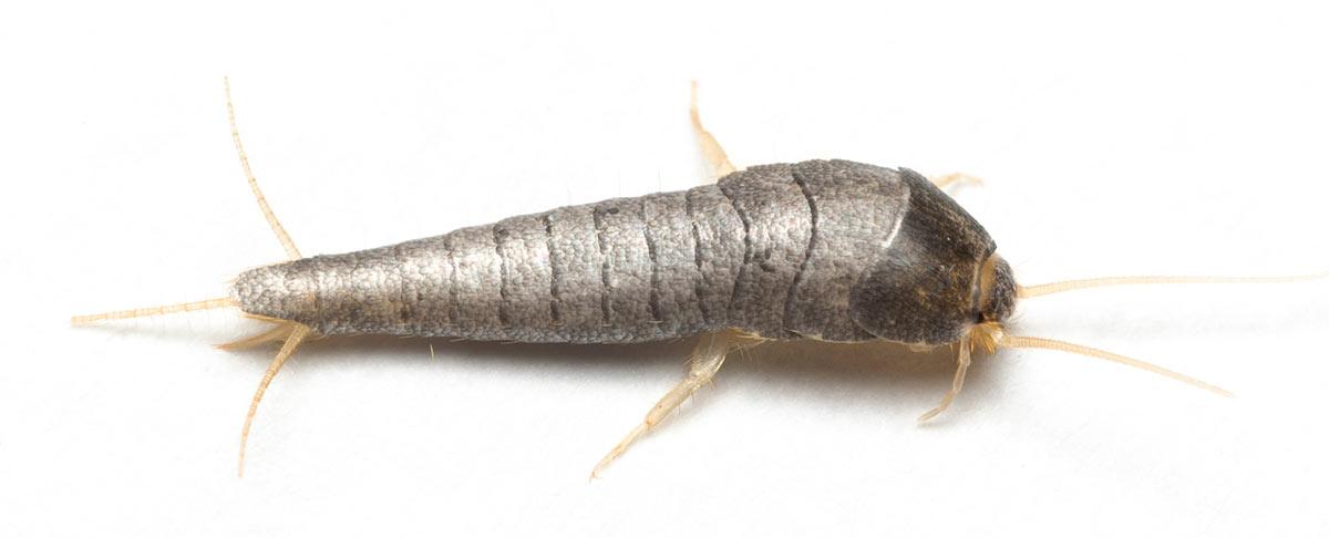 Almindelig Sølvkræ/Sølvfisk - Lepisma saccharina